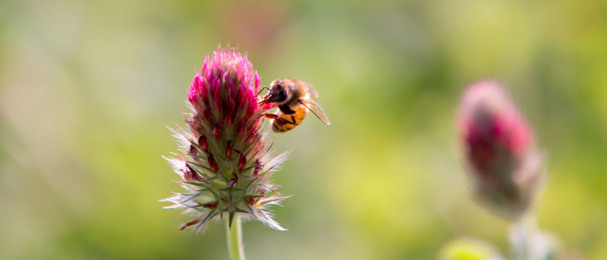 Les insectes pollinisateurs: des auxiliaires indispensables